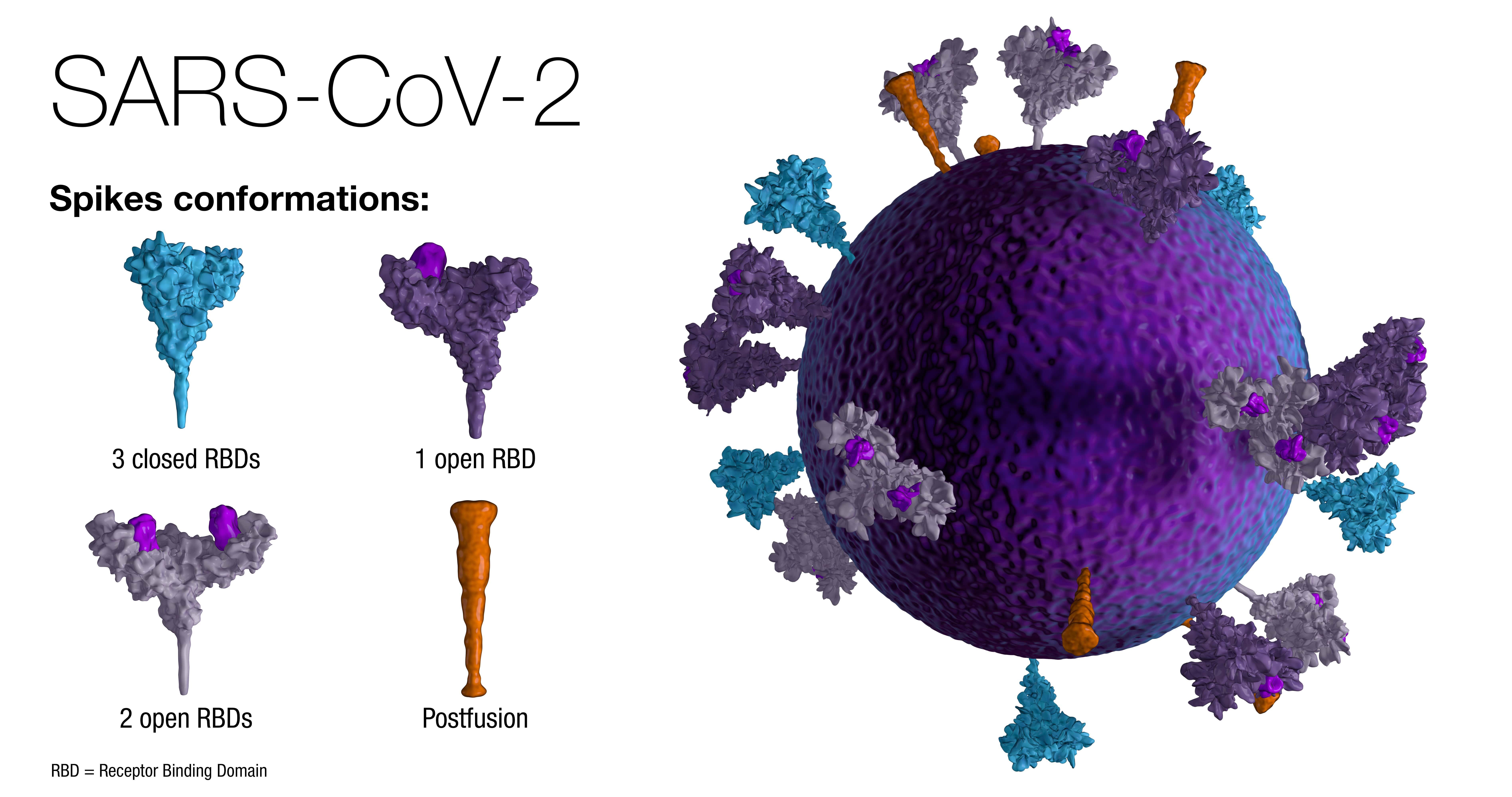 SARS-CoV-2 Diagram