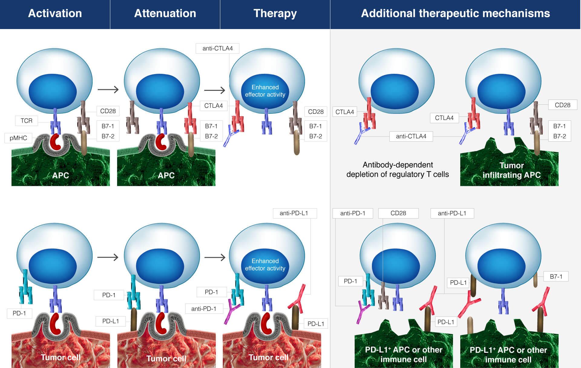 t-cell-exhuastion-molecular-mechanisms-ctla-4-pd-1-blockade